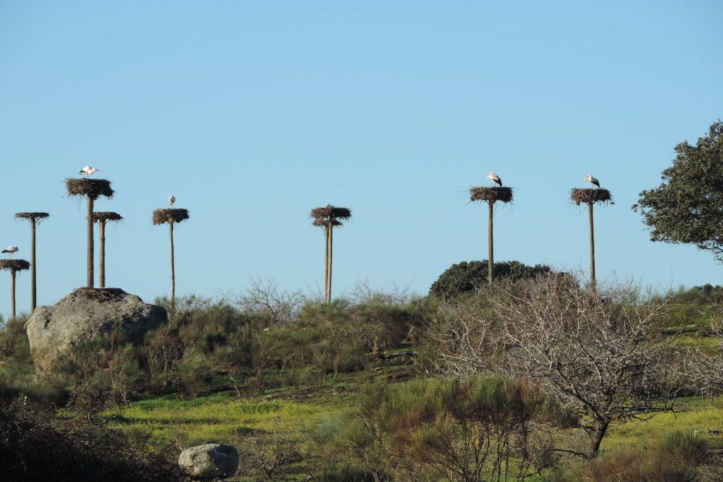 Cigüeñas en Los Barruecos